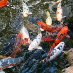 koi fish pictures , 8 Good Biggest Koi Fish In pisces Category