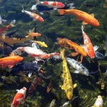 koi fish pictures , 7 Fabulous Koi Fish Ponds Made Easy In pisces Category