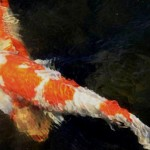 koi fish pictures , 5 Beautiful Koi Fish Prints In pisces Category