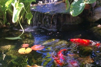 Koi Fish PicturesapeLA.com , 7 Awesome Koi Fish Los Angeles In pisces Category
