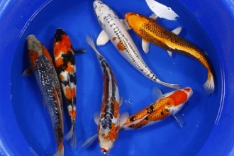 Koi Fish Pictures , 8 Charming Order Koi Fish Online In pisces Category