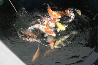 koi fish pictures in Plants
