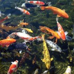 koi fish pictures , 6 Good Facts About Koi Fish In pisces Category