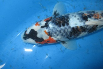 Koi Fish Pictures , 9 Wonderful Koi Fish Sales In pisces Category