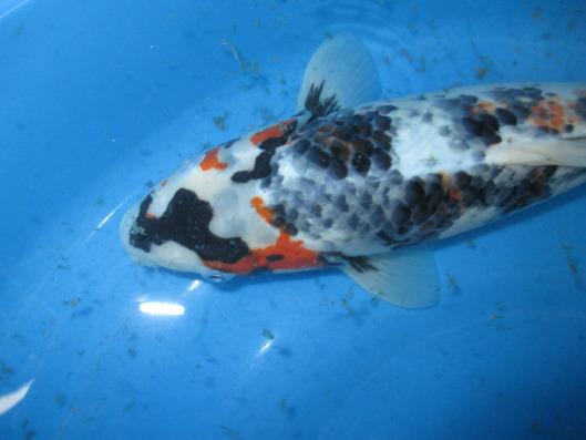 pisces , 9 Wonderful Koi Fish Sales :  Koi Fish Pictures