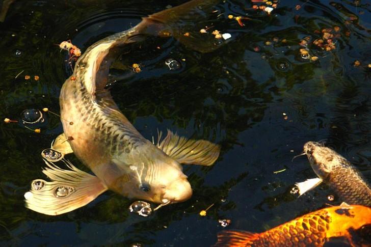 pisces , 7 Lovely Koi Fish Life Span :  Koi Fish Pictures