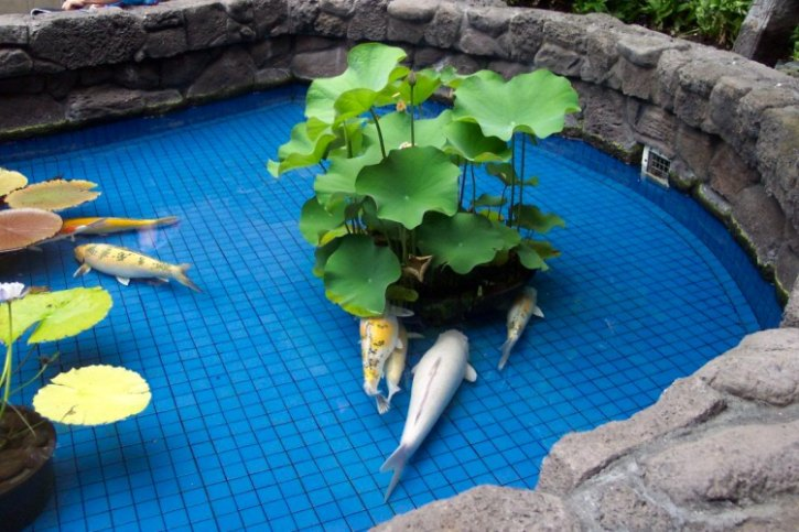 pisces , 8 Cool How To Care For Koi Fish Pond :  Koi Fish Pictures