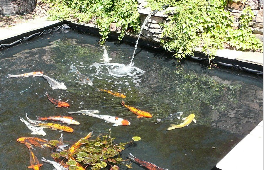 Koi fish pond design ideas biological science picture for Koi carp pond design