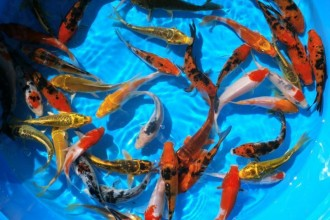 Koi Fish Pond , 8 Good Live Japanese Koi Fish For Sale In pisces Category