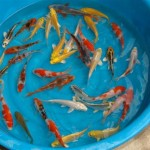 koi fish pond , 7 Top Prices Of Koi Fish In pisces Category