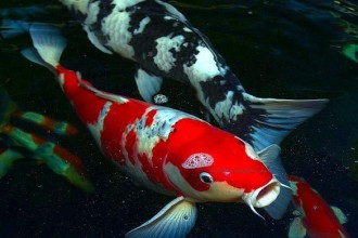 Koi Fish Pond , 9 Wonderful Koi Fish Sales In pisces Category