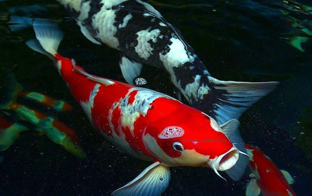 pisces , 9 Wonderful Koi Fish Sales :  Koi Fish Pond