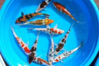 Koi Fish Pond , 8 Nice Koi Fish Wholesale In pisces Category