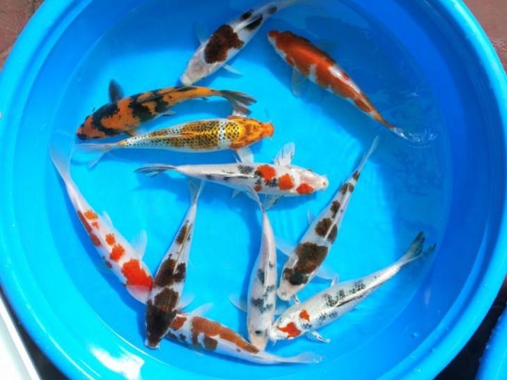 pisces , 8 Nice Koi Fish Wholesale :  Koi Fish Pond