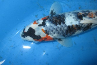 Koi Fish Pond , 8 Charming Koi Fishes For Sale In pisces Category