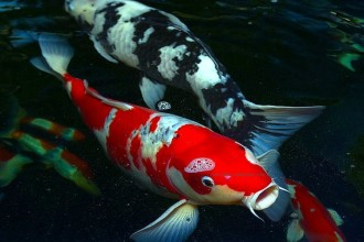 koi fish pond in Plants