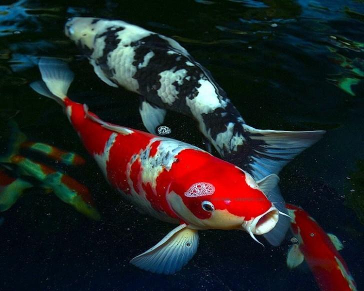 pisces , 6 Nice Koi Fishes :  Koi Fish Pond