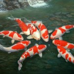koi fish prices , 8 Good Live Japanese Koi Fish For Sale In pisces Category