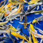 koi fish prices , 8 Charming Hikari Koi Fish In pisces Category
