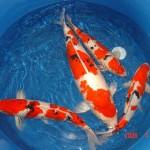 koi fish prices , 7 Nice Koi Fish Breeding In pisces Category