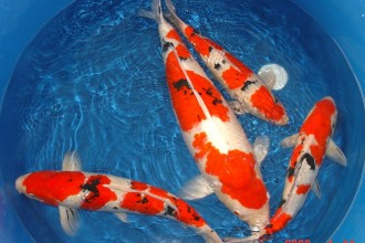Koi Fish Prices , 7 Nice Koi Fish Breeding In pisces Category