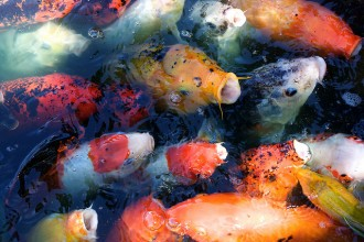 Koi Fish Prices , 7 Awesome Koi Fish Los Angeles In pisces Category