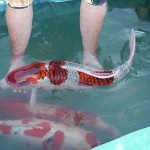 koi fish prices , 8 Amazing Giant Koi Fish For Sale In pisces Category