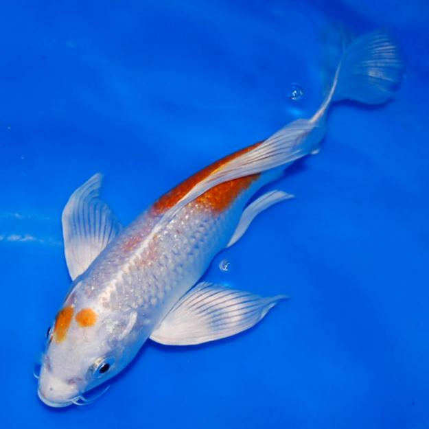 Koi fish sale 7 cool koi fish for sale in miami for Koi fish size
