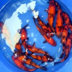 koi fish , 8 Fabulous Japanese Koi Fish Price In pisces Category