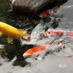 koi fish , 8 Charming Koi Fish San Diego In pisces Category