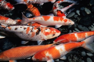 koi fishes in Butterfly