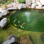 koi fishing , 6 Charming Koi Fish Pond Care In pisces Category