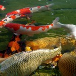 koi have become very , 9 Nice Caring For Koi Fish In pisces Category