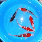 koi import , 8 Nice Koi Fish Wholesale In pisces Category