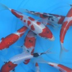 koi import , 8 Charming Baby Koi Fish Sale In pisces Category