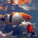 koi japan , 7 Nice Koi Fish Breeding In pisces Category