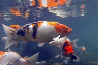 Koi Japan , 7 Nice Koi Fish Breeding In pisces Category