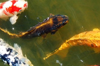 Koi Keeping Realities , 7 Nice Koi Fish Pond Supplies In pisces Category