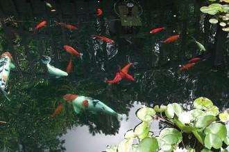 Koi Pond , 7 Fabulous Koi Fish Fountain In pisces Category