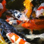 koi pond design , 5 Good Koi Fish Pond Construction In pisces Category