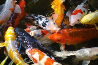 koi pond design in Reptiles