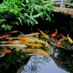 koi pond filter design , 8 Charming Koi Fish Ponds Designs In pisces Category