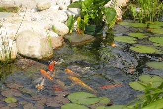 Koi Pond Plants , 6 Charming Koi Fish Pond Care In pisces Category