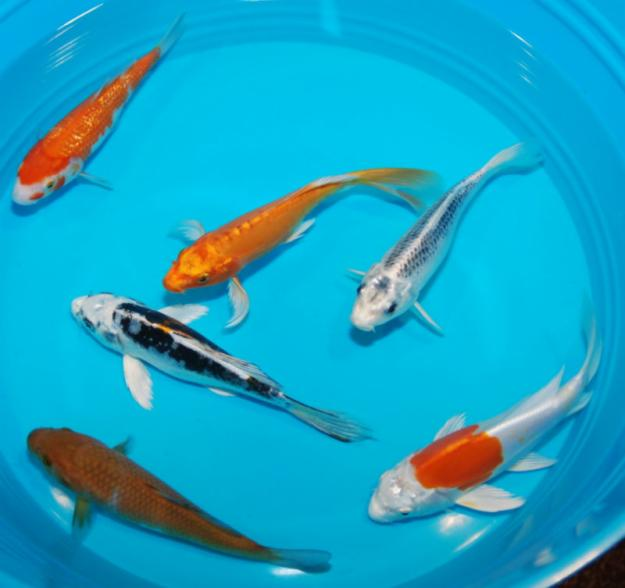 pisces , 7 Cool Koi Fish For Sale In Miami :  Koi Pond