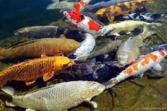 Koi Ponds Photo , 7 Fabulous Koi Fish Fountain In pisces Category