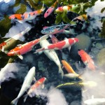 koi ponds san diego , 8 Charming Koi Fish San Diego In pisces Category