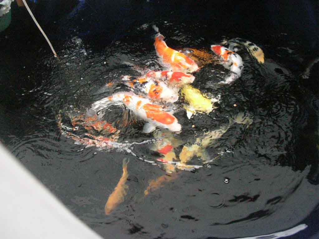Koi ponds 8 cool how to care for koi fish pond for Koi fish pond maintenance