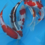 koi showa , 8 Charming Baby Koi Fish Sale In pisces Category