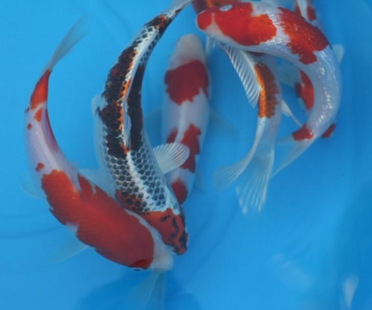 pisces , 8 Charming Baby Koi Fish Sale :  Koi Showa