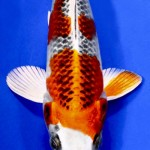 kujaku koi unique koi , 8 Beautiful Koi Fish Pond For Sale In pisces Category